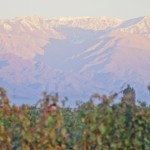 Seed vineyard with Andes mountain backdrop
